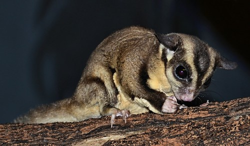 possum zoo texas nocturnal sugarglider brownsville omnivorous arboreal gladysporterzoo petaurusbreviceps nikond7000 nikkor18to200mmvrlens