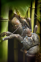 Coconut Crab - Kenny 02-16-14