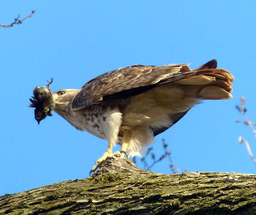 Red tail with sparrow