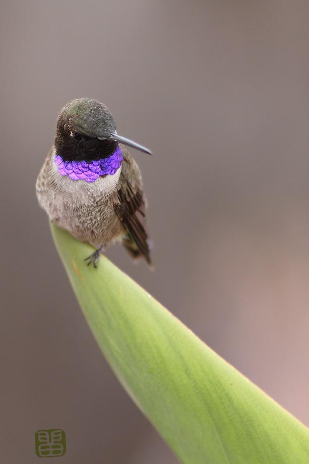 Black-Chinned-Hummingbird-032914-2
