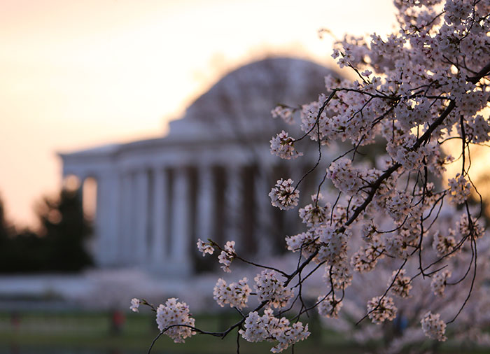 Cherry blossoms - Tidal Basin, Washington, D.C.
