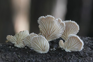 Bracket fungi, Schizophyllum commune, (under side) Hamilton Gardens, Waikato, New Zealand
