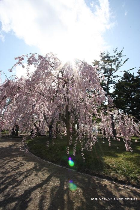 20140502_AomoriSakura_2939 ff