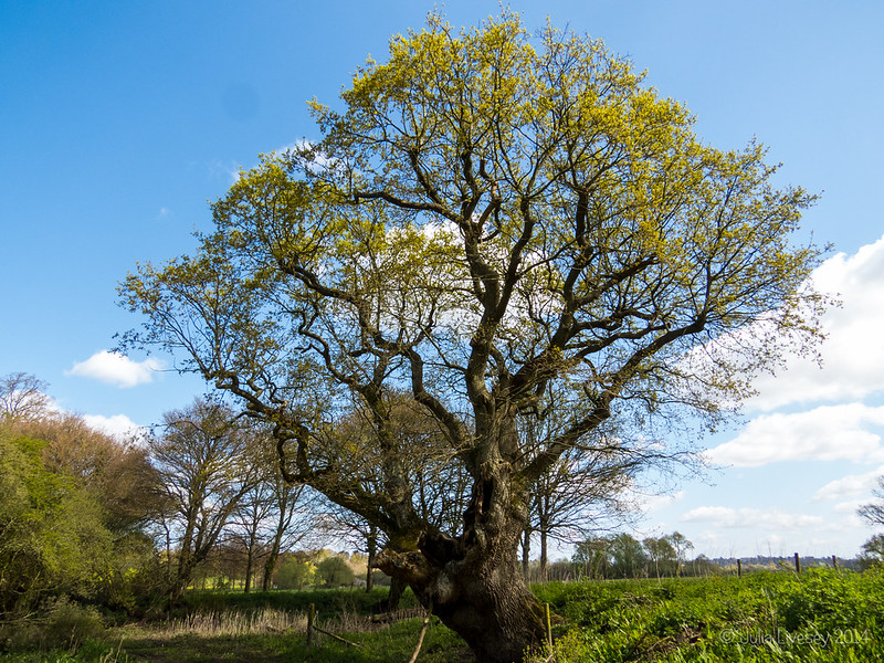 The oak-of-many-faces is in leaf