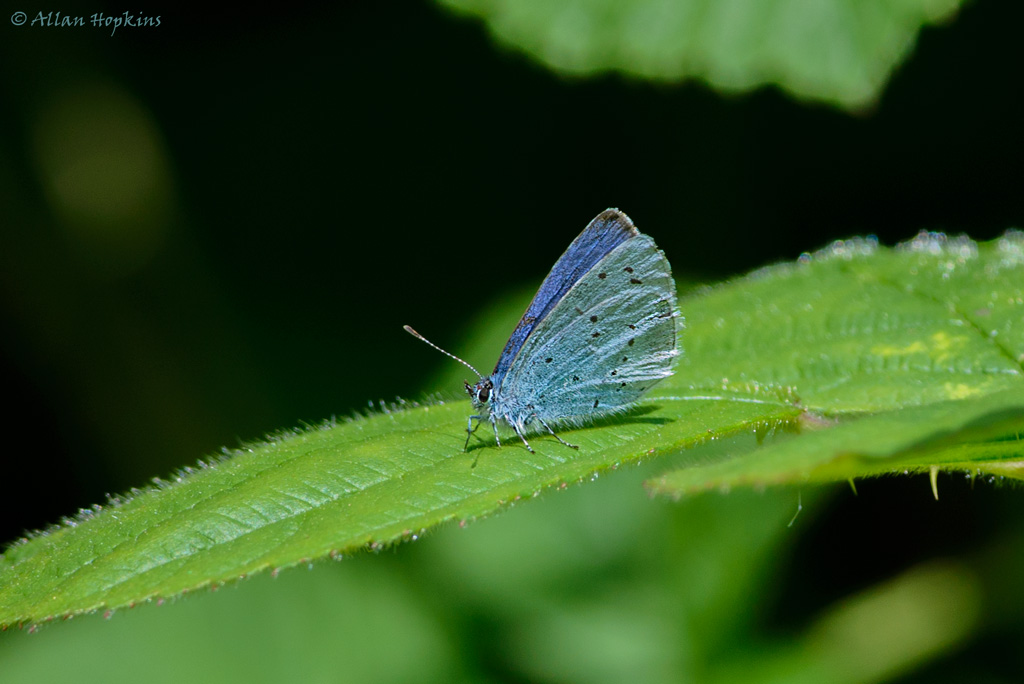Holly Blue (Celastrina Argiolus Britanna), spring brood male. Underwing.