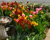 20140419-01_Wallflowers + Tulips