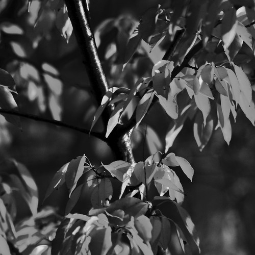 Leaves of Grey