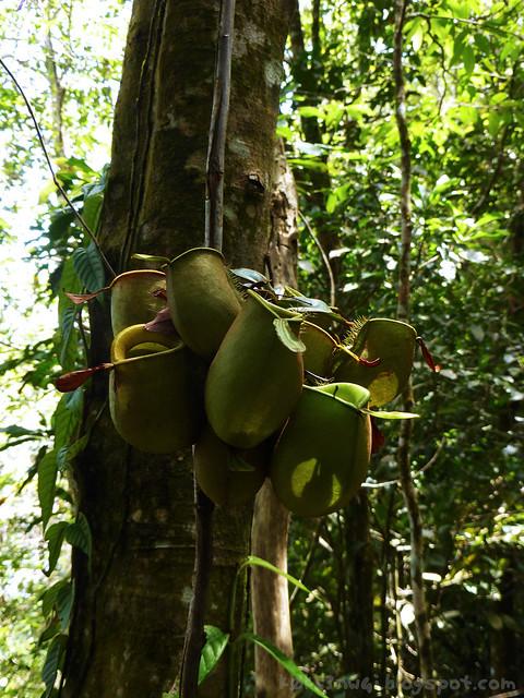 26 Bukit Serumbu Nepenthes ampullaria climbing cluster