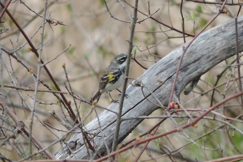 #57 Yellow-rumped Warbler (Dendroica coronata)