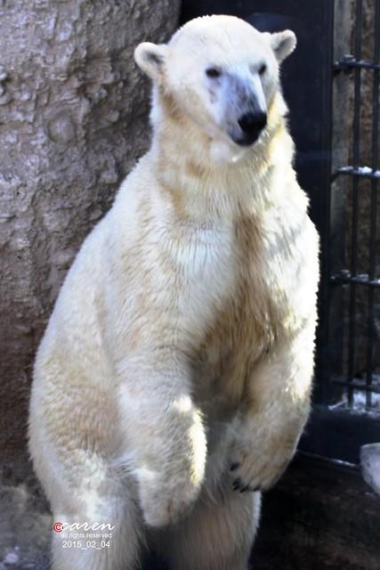 Eisbär Giovanna 2015_02_04 218