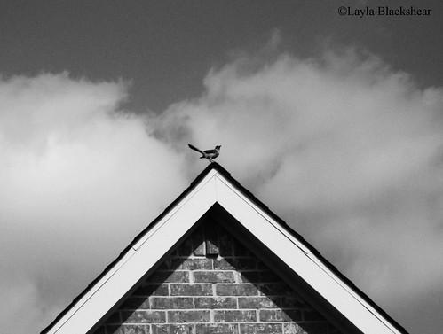 Mockingbird - Minimalist Photograph