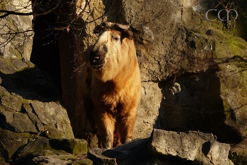 Two Sichuan Takins from the Tierpark!