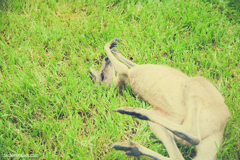 Roo lying in the grass