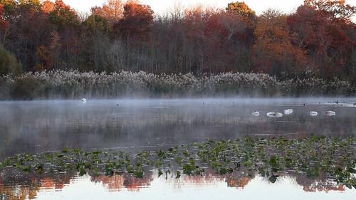 morning autumn mist newyork canon landscape october outdoor slumber ducks longisland swans 6d 2015 canonef24105mmf4lisusm massapequapreserve rpg90901