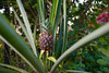 Wide angle pineapple view
