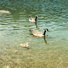 Canada rating is turned up to 11 #canada #geese #bc #nature #mountains