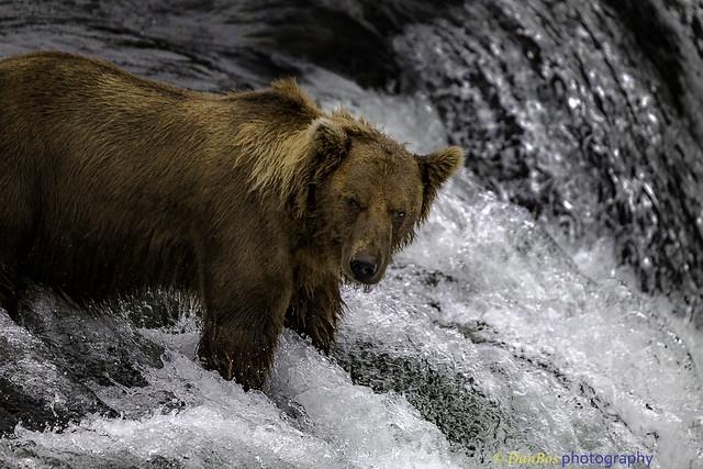 Bear Portrait on waterfall