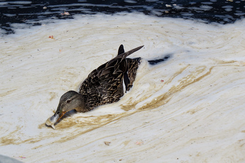 Mother duck on the Ottawa River, Ottawa