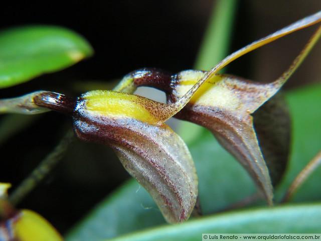 1319 - Masdevallia floribunda