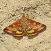 Pyrausta subsequalis - Photo (c) Ken Schneider, some rights reserved (CC BY-NC)