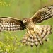 Northern harrier, female by Through-The-Big-Lens