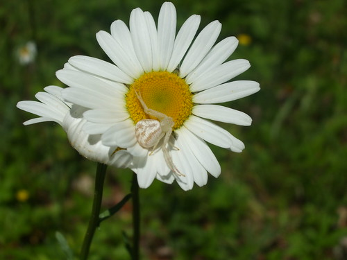 Crab spider on a daisy