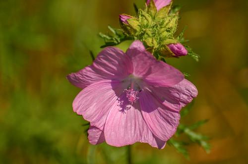 <p><i>Malva moschata</i>, Malvaceae<br /> Grant Narrows, Pitt Meadows, British Columbia, Canada<br /> Nikon D5100, 70-300 mm f/4.5-5.6<br /> June 30, 2013</p>