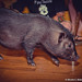 Marceline The MicroPig 7.13.13-18