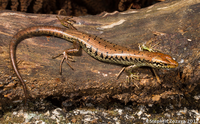 Bartle Frere Barsided Skink (Eulamprus frerei)
