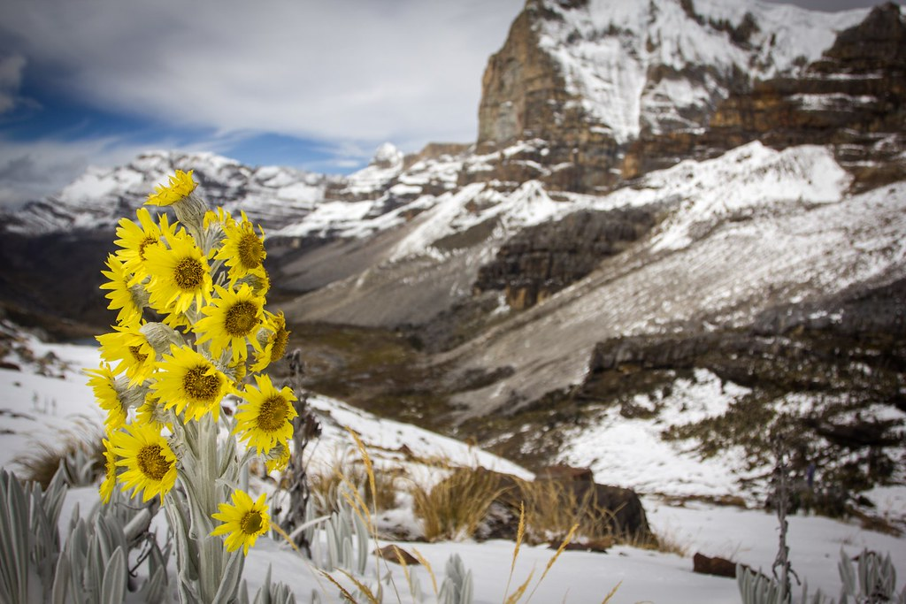 Flores de senecio near Paso de la Sierra (4650m) with the towering 1000m east-cliffs of Nevado Ritacuba Blanco (5410m). PNN El Cocuy. Colombia.