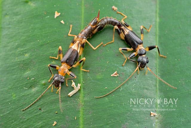 Earwigs (Dermaptera) - DSC_1075