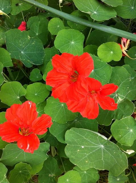 Garden Red's 8/2013