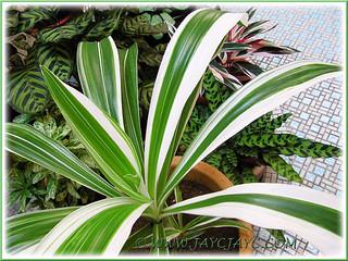 Crinum asiaticum 'Variegatum' (Variegated Grand Crinum Lily,Striped Bengal Lily, Asiatic Poison Bulb) - 21 July 2013