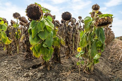 california flower field sunflowers crops sdosremedios stevendosremedios size2x3 ©stevendosremedios