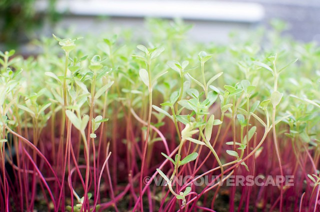 Urban Stream micro greens, grown onsite at Luke's
