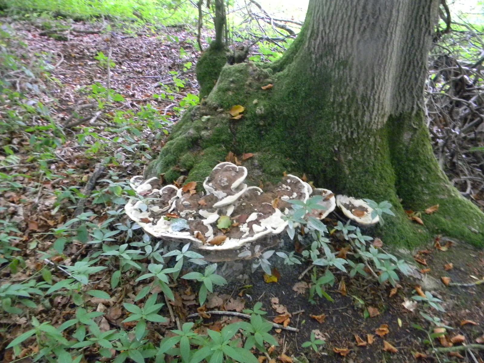 fungus Goring Circular