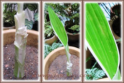 Crinum asiaticum 'Variegatum', showing leafless pseudostem and diseased apical leaf - 12 Oct 2013
