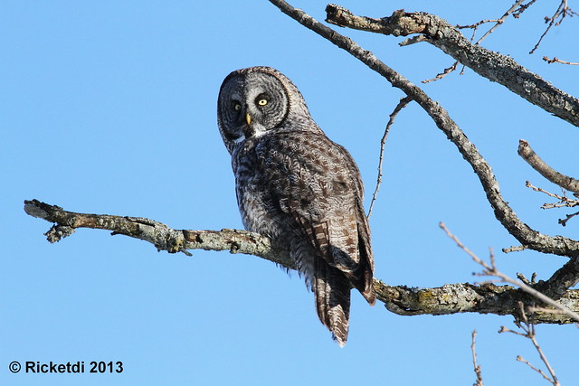 *** chouette lapone-great gray owl (Richard)