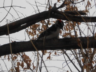 Downy Wood Pecker (2)