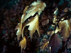 Gilded foliage
