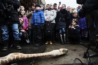 哥本哈根動物園長頸鹿支解現場,包括孩童在內,有許多民眾圍觀。圖片擷取自法新社。