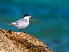 Cap Tagarit, oiseaux