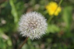 Dandelions 9