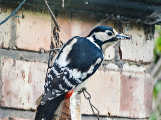 Mrs Woodpecker