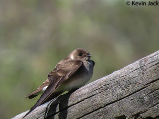 Rough Wing swallow resting