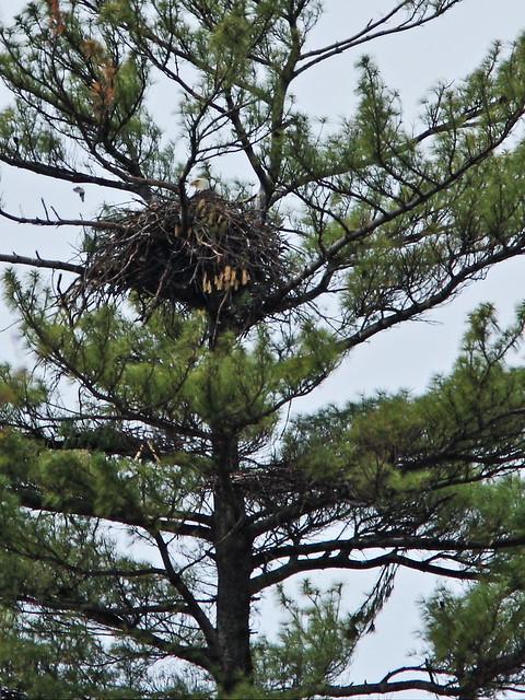 Bald Eagle nest 20140504