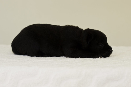 Ayui-Litter4-Day20-Puppy5-Male-c