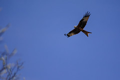 animal, hawk, bird of prey, falcon, eagle, wing, vulture, buzzard, bald eagle, accipitriformes, sky, bird, flight, condor,