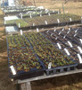 chard seedlings