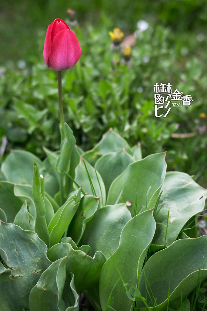 ►►► Tulips 2014 今年的鬱金香 ● DV ◄◄◄